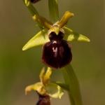 Ophrys araneola x Ophrys sphegodes