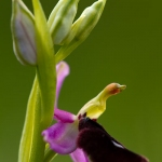 Ophrys bertolonii x Ophrys bertoloniiformis