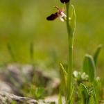 Ophrys bertoloniiformis x Ophrys sipontensis