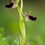 Ophrys bertoloniiformis