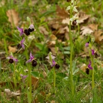 Ophrys biscutella & Ophrys archipelagi