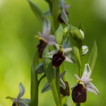 Ophrys biscutella