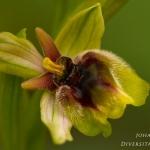 Ophrys bombyliflora x Ophrys neglecta