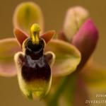 Ophrys bombyliflora x Ophrys normanii
