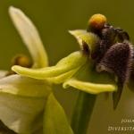 Ophrys bombyliflora - Weidehommelophrys