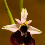 Ophrys chestermanii