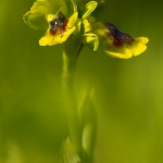 Ophrys corsica