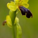 Ophrys eleonorae