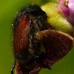 Ophrys fuciflora - Hommelorchis & Phyllopertha horticola - Rozenkever: bestuiver
