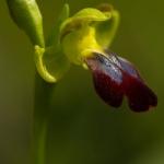 Ophrys funerea