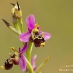 Ophrys gresivaudanica