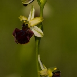 Ophrys incubacea x Ophrys praecox