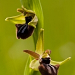 Ophrys incubacea - Zwarte spinnenophrys