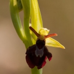 Ophrys insectifera x Ophrys sphegodes