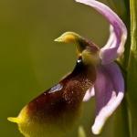 Ophrys lunulata - Maanophrys