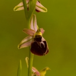 Ophrys morisii