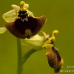 Ophrys normanii