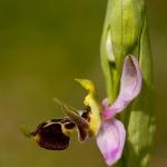 Ophrys oestrifera subsp. montis-gargani