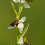 Ophrys philippi