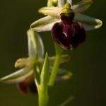 Ophrys praecox