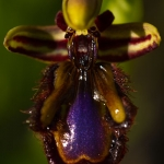 Ophrys speculum - Spiegelophrys