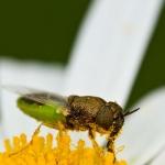 Oplodontha viridula - Kleine moeraswapenvlieg