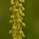 Orchis anthropophora - Poppenorchis