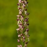 Orchis anthropophora x (Orchis militaris x Orchis purpurea)