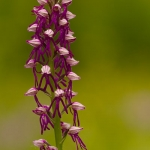 Orchis anthropophora x Orchis militaris