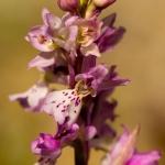 Orchis ichnusae