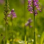 Orchis militaris - Soldaatje & Orchis anthropophora - poppenorchis