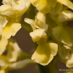 Orchis pallens - Bleke orchis
