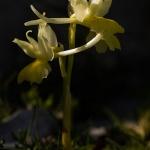 Orchis pauciflora - Gele karstorchis