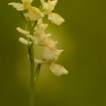 Orchis provincialis - Stippelorchis