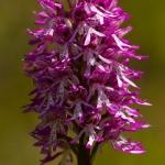 Orchis purpurea x Orchis simia