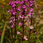 Orchis quadripunctata - Vierpuntjesorchis