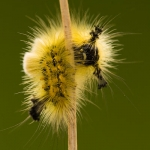 Orgyia antiquoides - Heidewitvlakvlinder