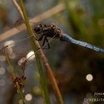 Orthetrum coerulescens - Beekoeverlibel