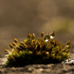 Familia Orthotrichaceae - Haarmutsfamilie