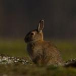 Familia Leporidae - Hazen en konijnen