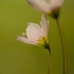 Familia Oxalidaceae - Klaverzuringfamilie