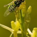 Oxycera trilineata - Groen verfdrupje