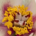 Paeonia mascula - Wilde pioen