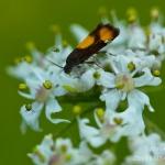 Pammene aurana - Oranje dwergbladroller