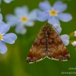 Panemeria tenebrata - Dwerghuismoeder