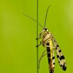Familia Panorpidae - Schorpioenvliegen