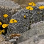 Papaver alpinum subsp. rhaeticum - Rhaetische klaproos