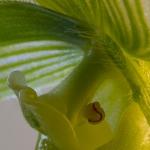 Paphiopedilum 'Maudiae Femma'