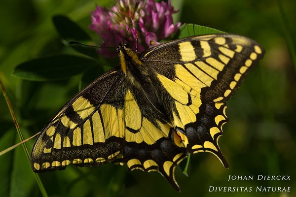Papilio machaon - Koninginnenpage