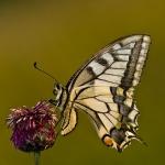Familia Papilionidae - Pages